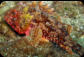 small red scorpion fish